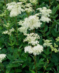 MeadowSweet Pond Plant attracts butterflys and bumblebees