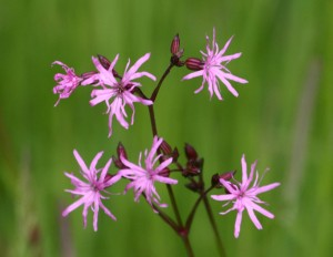 Ragged Robin - A native UK wildflower for pond edges