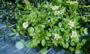 Watercress a natural pond filter that can be enjoyed all year round.