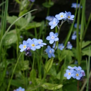 Water forget me not a UK native water plant