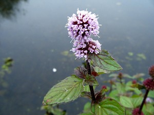 Water Mint looks and smells great on any waters edge