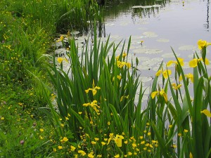 The beautiful native aquatic plant that is the Yellow Iris