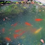 Do not overfeed your koi in the upcoming weeks to winter