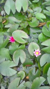 Water Lily a great addition to any pond.