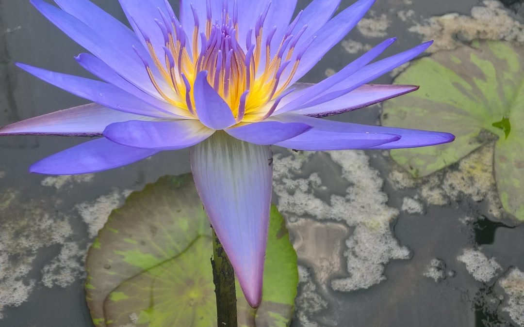 Water Lilies – Ideal for any pond , small or large!