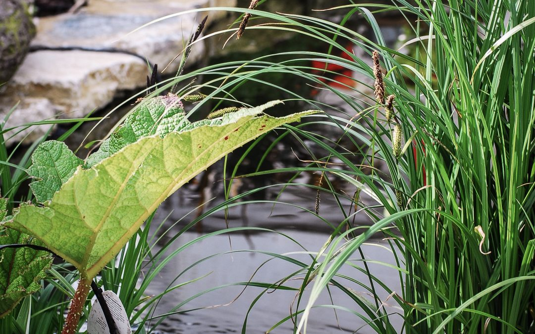 Pond Plants – which ones for your garden pond?