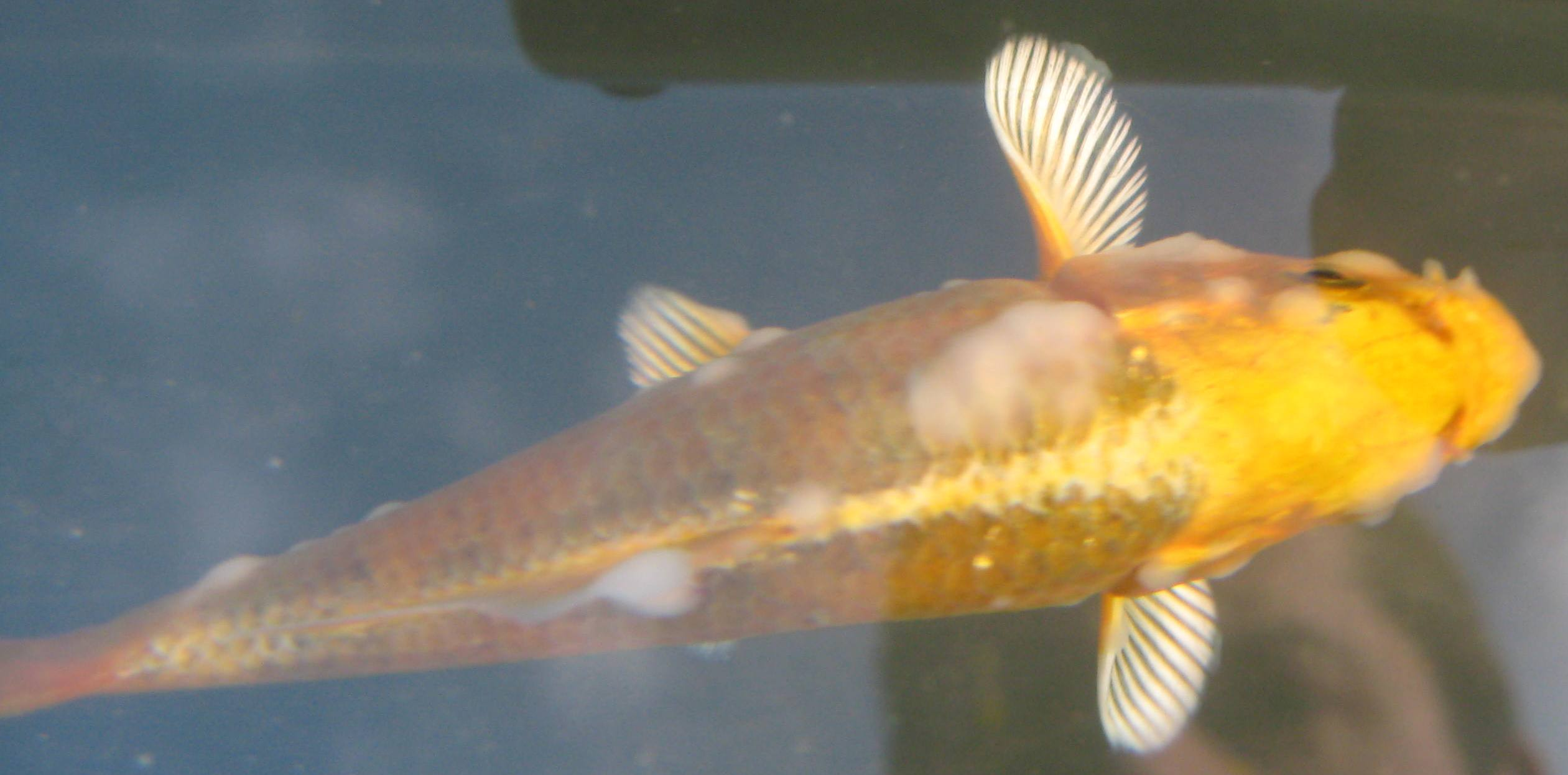Koi treatment for bacterial infections symptoms treatments for Cotton wool disease in fish