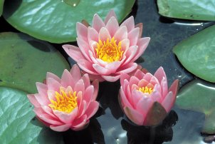 Fabiola water lily pond plant