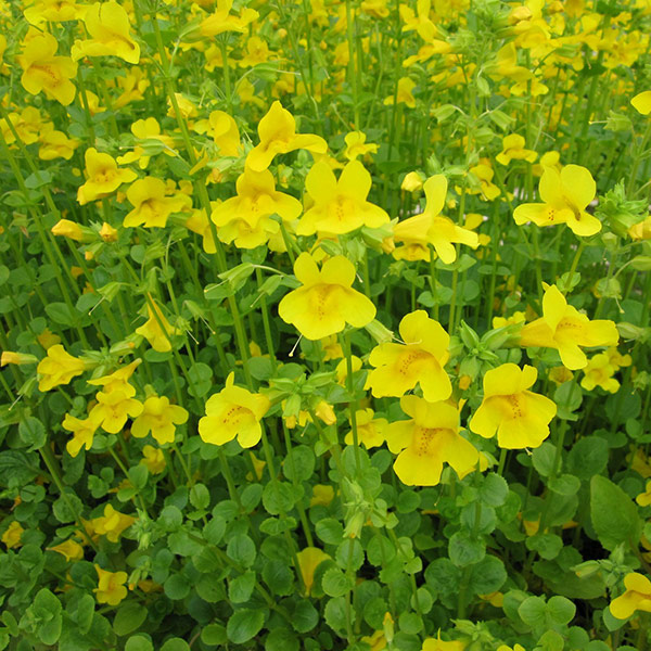 Pond plant mimulus guttatus monkey flower pond stars uk pond plant mimula guttatus monkey flower mightylinksfo