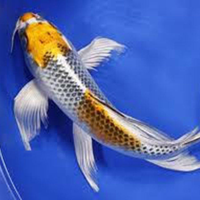 Butterfly Koi Koi Demand Pond Stars Uk